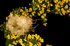 Empty nest. An empty small nest surrounded by yellow broom flowers on a black background Royalty Free Stock Photo