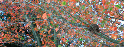 Empty Nesters. Empty nest up in a tree changing colors and losing leaves Royalty Free Stock Images