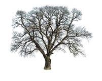 Empty oak isolated stock photo