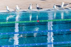 Empty Olympic swimming pool occupied by seagulls. Sense of calm, freedom and impending competition. Empty Olympic swimming pool occupied by seagulls. Sense of Stock Photos