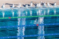 Empty Olympic swimming pool occupied by seagulls. Sense of calm, freedom and impending competition. Empty Olympic swimming pool occupied by seagulls. Sense of Royalty Free Stock Image