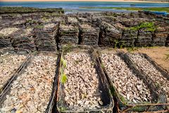 Empty oyster shells in wire baskets Morocco Stock Photos