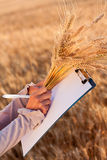 Empty paperwork and ears wheat in women's hands Royalty Free Stock Photos
