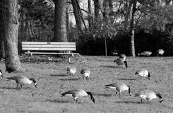 Empty park bench with canadian geese. During fall Royalty Free Stock Images