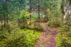 Empty pathway in pine tree forest, Karelia, Russia Stock Images