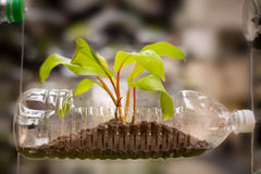 Empty plastic bottle use as a container for growing plant, recyc Stock Photos