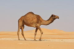 Empty Quarter Camel Stock Photos