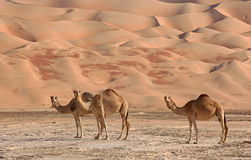 Empty Quarter Camels Royalty Free Stock Images
