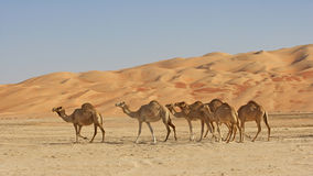 Empty Quarter Camels Stock Images