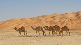 Empty Quarter Camels stock images