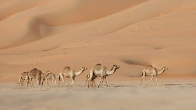 Empty Quarter Camels Stock Photography