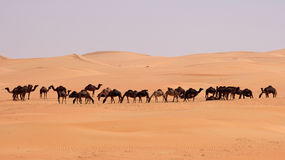 Empty Quarter Camels Stock Photos