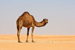 Empty Quarter Camels Royalty Free Stock Image