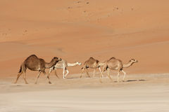 Empty Quarter Camels Royalty Free Stock Photography