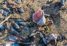 Empty rapana by the sea. On a sunny autumn day royalty free stock photo