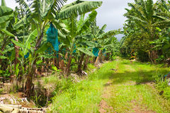 Empty road on the banana plantation, Guadeloupe Stock Image
