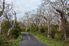 Empty road through the dry autumn wood. Australia. Fall down forest royalty free stock image