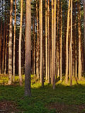 Empty road in the evening pine forest with the last rays of the sun in the tourist area Machuv kraj in czech landscape Stock Image