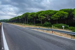 Empty road in the middle of pine tree forest stock photos