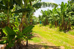 Empty Road On The Banana Plantation, Guadeloupe Stock Images