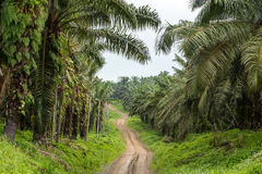 Empty road though palm oil tree plantations. In Borneo, Malaysia stock photos