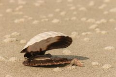 Empty scallop seashell on sandy beach Stock Image