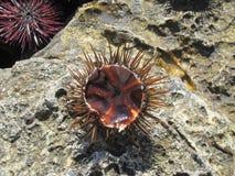 Empty sea urchin. Near the sea in Malta Royalty Free Stock Images