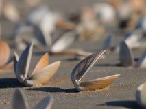 Empty seashell Royalty Free Stock Image