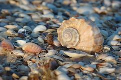 Empty seashell of marine mollusc rapana venosa Royalty Free Stock Photos