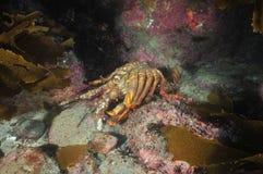 Empty shell of spiny lobster Royalty Free Stock Photo