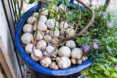 Empty snailhouse in blue garden pot Royalty Free Stock Photography