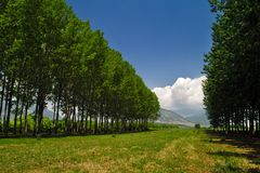 Empty space, between rows of tall trees. Forest in Macedonia, Greece. Distant mountains stock image
