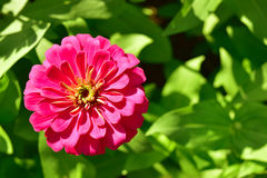 Empty space for text. Pink flowers zinnia top view and empty space for text Royalty Free Stock Photo