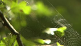 A spider web in the woods. An empty spider web dangling between branches in the woods stock footage