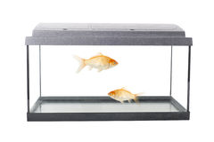 Empty squared fish tank. Isolated empty fish tank with clipping path and goldfish stock image
