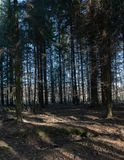 empty thick spruce forest stock photo