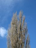 Empty tree without leaps, blue sky, sunny, Royalty Free Stock Image