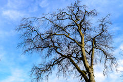 An empty Tree. An oak tree in early Winter Stock Photo