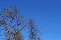 Empty trees without leaves in early spring against a blue sky on a clear day Stock Photography