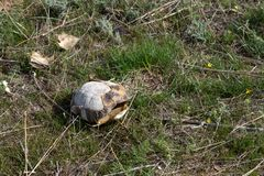 Empty turtle shell. In the steppe among the grass royalty free stock photo