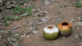 Empty two coconuts on the sand floor. Empty two coconut on the sand floor with rock dust grass leaves and other plant Stock Photos