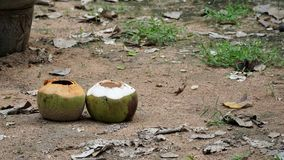 Empty two coconuts on the sand floor. Empty two coconut on the sand floor with rock dust grass leaves and other plant Royalty Free Stock Photography