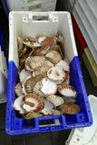 Empty Venus shells in a fishermen`s box stock photography