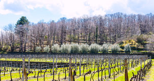 Empty vineyard in Etna winemaking area in spring. Sicily, Italy Royalty Free Stock Images