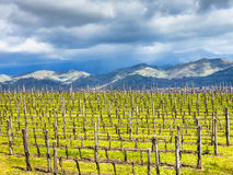 Empty vineyard in Etna winemaking region in spring Stock Photo
