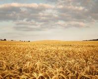 Empty wheat field Stock Photo