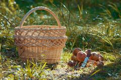 The empty wicker basket and mushrooms on grass in green forest. Horizontal Royalty Free Stock Photo
