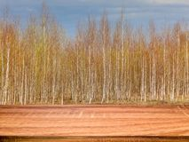Empty wooden table with blurred spring background of birch trees. Can be used for display or montage product stock photos