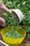 Emptying The Basket of Freshly Picked Green Beans royalty free stock photography