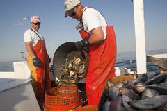 Emptying crabs into a crab pot Royalty Free Stock Image